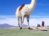 De lama is een van de weinige grazers in het hooggebergte van Bolivia.