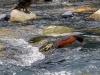 De Torrent eend leeft in de snelle stromingen van de rivieren. Continue zwemmend tegen de stroming in en soms uitrustend op een steen
